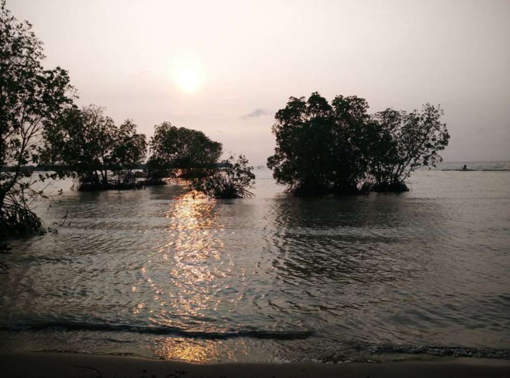 Pohon bakau pantai muara gembong